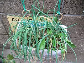 GreenOnion0910a.jpg